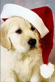Christmas puppy uid 1006212